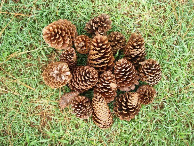 Pine cones, Reserve Park, Bangalow